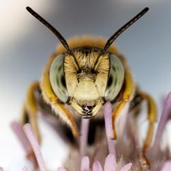 Angry Bee Image