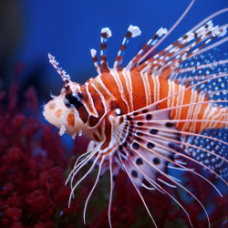 Invasive Predator Image of a Lionfish