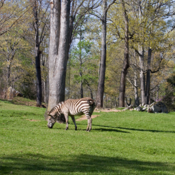 Zebras at the NC Zoo