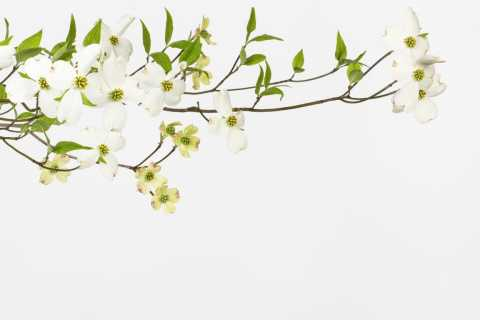 Dogwood tree branch in blossom