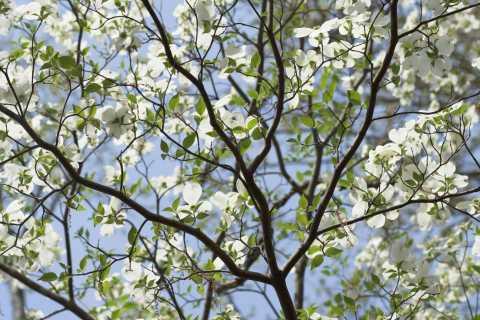 Flowering Dogwood Branch