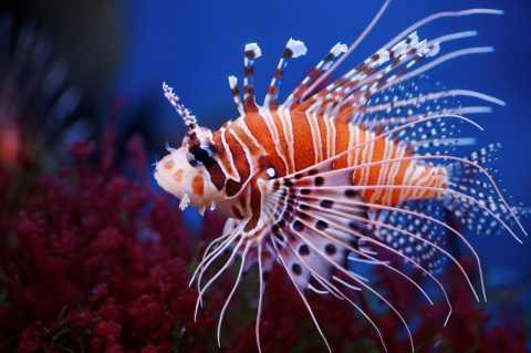 Invasive Predator Image of a Lionfish