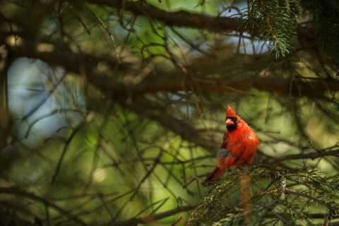 Photograph of red cardinal in a tree