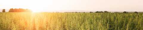 Legal Hemp farm at sunset